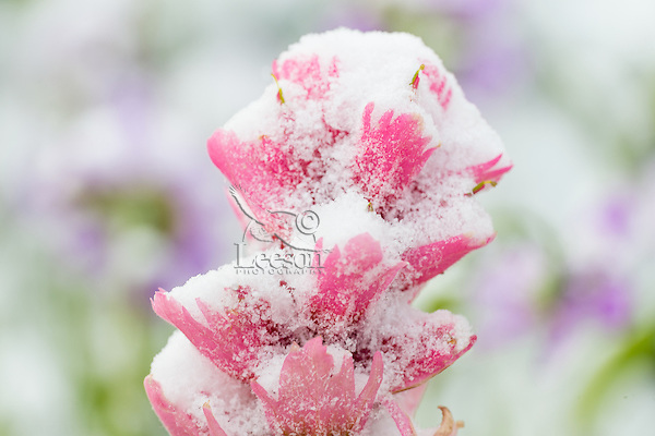 Snow plastered Indian Paintbrush (Castilleja sp.) photographed in July in the Beartooth Mountains of Wyoming.