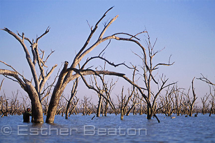 Duck Hunter and decoys hiding among flooded box trees (eucalayptus). Barren Box Swamp. western New South Wales.