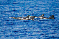 Rough-toothed Dolphins, Steno bredanensis, off Kona Coast, Big Island, Hawaii, Pacific Ocean.