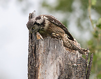 A Northern Hawk Owl hunts from the top of his now empty nest cavity.