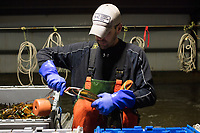 Sean Eason, 38, places bands on lobster claws as he sorts live lobsters by size and weight at Island Seafood's receiving facility in Eliot, Maine, USA, on Wed., Jan. 31, 2018. Lobsters are sorted into similar sizes and then moved to a packing facility to be shipped to customers around the world.