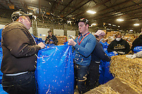 Getting ready for Iditarod 2016, volunteers bag straw in assembly-line style as  others zip-tie, stack and shrinkwrap pallets of straw and hay on Thursday, February 11, 2016  at Airland Transport in Anchorage. Nearly 1700 bales will be sent out to over 20 checkpoints along the trail. Iditarod 2016
