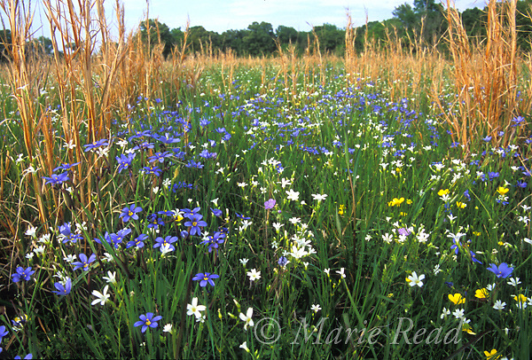 Prairie wildflowers and grasses, including Blue-eyed Grass (Sisyrinchium sp.), April, St. Charles, Arkansas, USA<br /> Slide # PRAARK-01