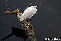 0201-08mm  Snowy Egret, Egretta thula © David Kuhn/Dwight Kuhn Photography