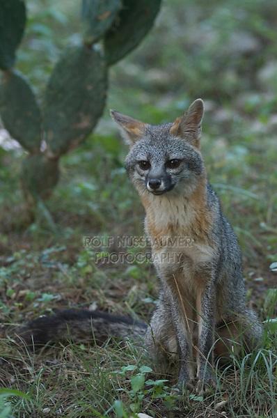 Gray Fox, Urocyon cinereoargenteus, adult, Hill Country, Texas, USA, June 2007