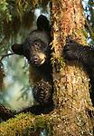 A Black Bear climbs in a mossy rainforest tree.