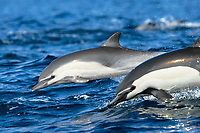 Short-beaked common dolphin pair (Delphinus delphis) leaping next to each other off the north shore of Catalina Island, Southern California, USA. Pacific Ocean