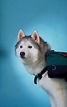 Siberian Husky with a pack on his back in the studio Shopping cart has 3 Tabs:<br />