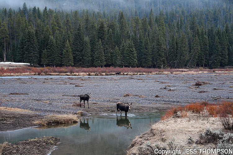 Moose crossing a stream, Yellowstone