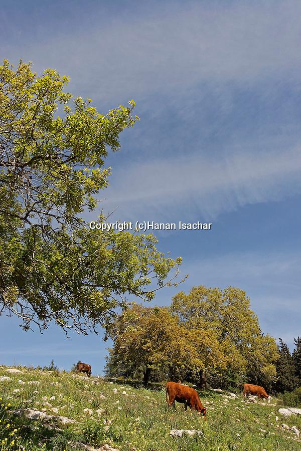 Israel, Lower Galilee. Oak trees by Zippori forests scenic road