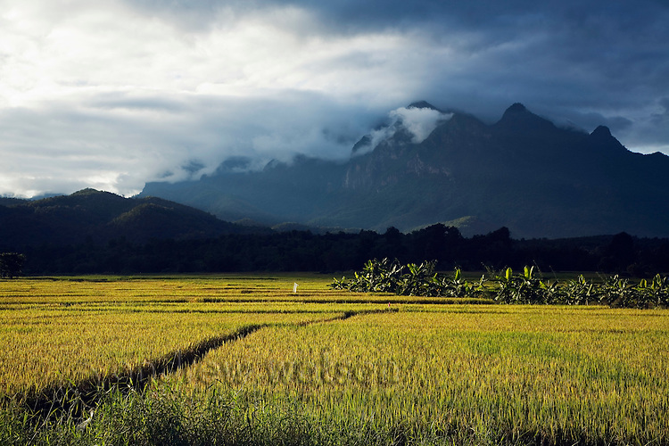Golden rice paddies with Doi Chiang Dao, Thailand's highest limestone mountain, in the background.  Chiang Dao, Chiang Mai province, THAILAND.