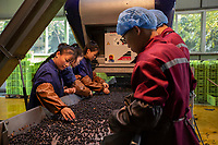 China - Ningxia - Workers sorting grape berries at Helan Qingxue Vineyard.<br />