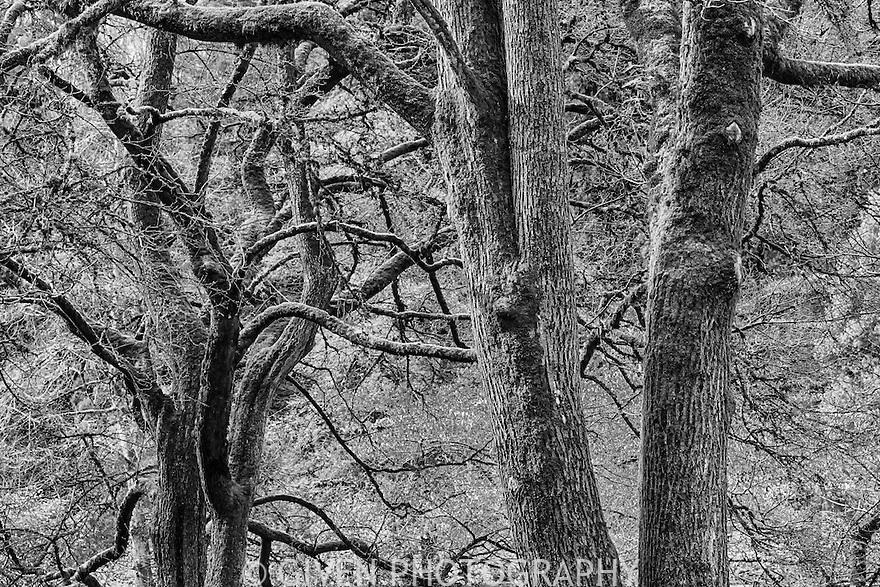 Montpelier Maples, Seattle, Washington