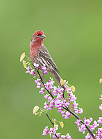 House Finch, in Red Bud tree, New Jersey