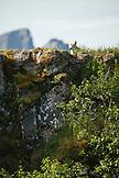 USA, Alaska, Homer, a wolf watches after her pups from the top of a grassy knoll, Hallow Bay, Katmai National Park, Katmai Peninsula, Gulf of Alaska