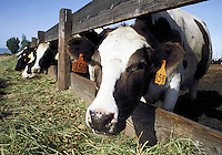 facial view of holstein cows eating at feed lot. California USA.