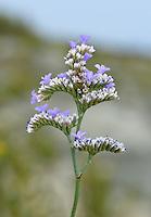 Portland Sea-lavender - Limonium recurvum ssp. portlandicum