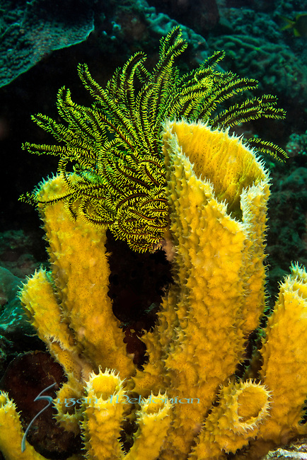 Yellow Sponge and Yellow Crinoid, Larantuka, eastern end of Flores Island, East Nusa Tenggara, Indonesia. ,