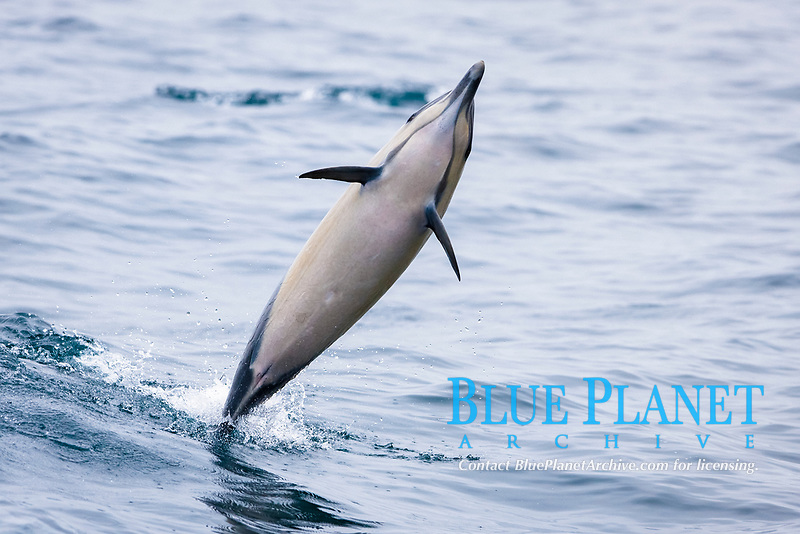 short-beaked common dolphin, Delphinus delphis, leaping, San Diego, California, USA, Pacific Ocean