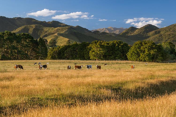 Cattle grazing near Greytown, Wairarapa, New Zealand - stock photo, canvas, fine art print