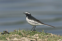 White-browed Wagtail - Motacilla madaraspatensis