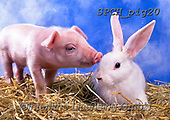 ANIMALS, REALISTISCHE TIERE, ANIMALES REALISTICOS, pigs, photos+++++,SPCHPIG20,#a#, EVERYDAY
