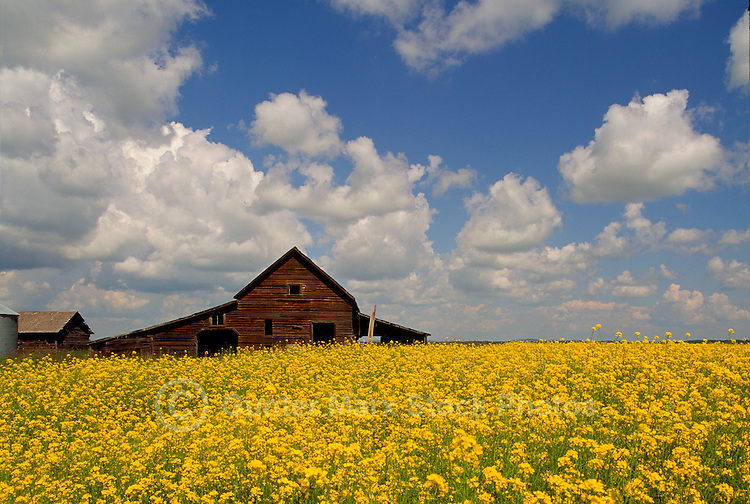 Old Red Barn and Canola (Rapeseed) Field blooming near Dawson Creek, BC, Northern British Columbia, Canada