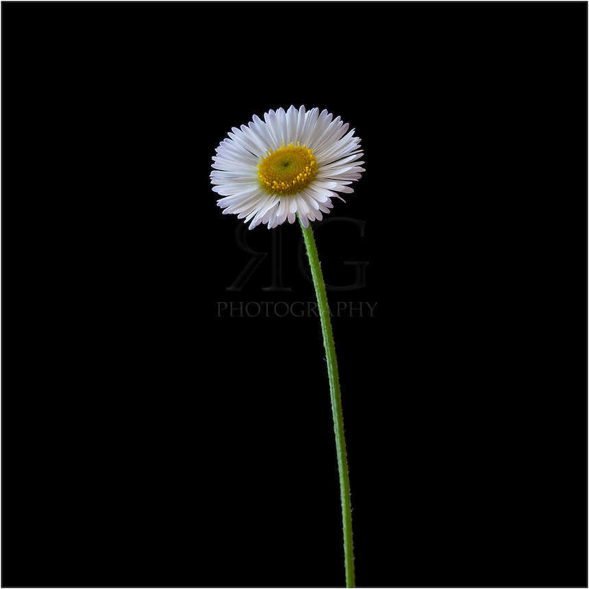 The daisy is a favorite of Texas Wildflowers. This unassuming white flower with lovely, delicate white petals is a favorite in a garden, landscape or in a field. This particular daisy came from my flowerbed, grown from Texas Wildflower seed that was scattered in the yard from the previous Autumn.
