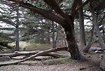 Monterey cypress forest