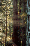 Coastal Redwood trees, California, Jedediah Smith State Park, Stout Grove, ancient, old growth trees experience yet another sunrise, Pacific Coast, United States, North America,