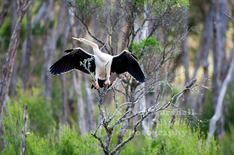 The Australasian Darter or Australian Darter is a species of bird in the darter family, Anhingidae. It is found in Australia, Indonesia, New Zealand, and Papua New Guinea.