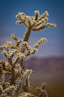 The Mojave Desert recives less than 10 inches of rain a year and in summer temps reach 120 - 130 degress.  Many variets of cactus, yucca plants, and the Joshua Tree flourish in the desert.