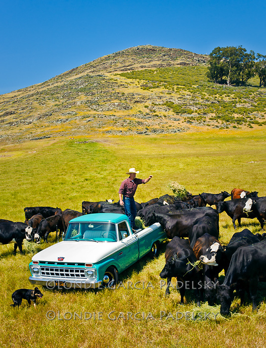 Jason Haase feeding cows from his 1968 Ford Pickup Truck, San Luis Obispo, California