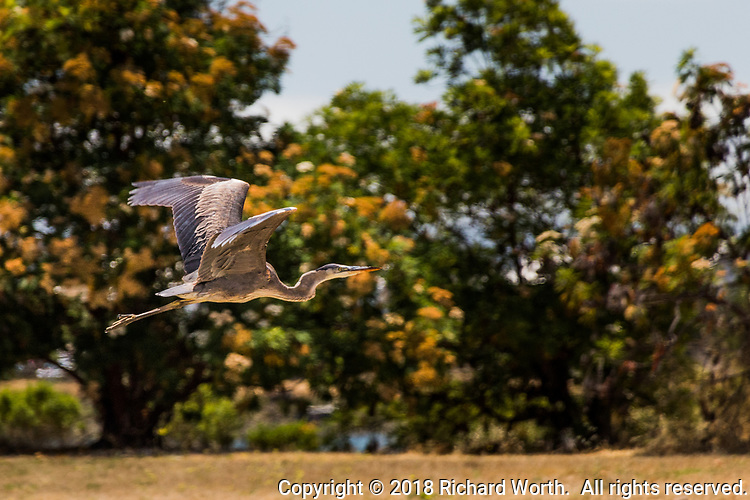 A Great Blue Heron in flight with its wings spread wide, at a regional park near the Oakland International Airport.
