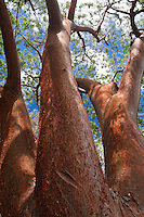 Turpentine Tree (Bursera simaruba) Torchwood Family. This sreading, aromatic native of the West Indies and Florida is recognized by its smooth reddish bark which peels off in papery flakes. A turpentine-like smell is given off by the tree resin. This resin or chibou has been used in glue, varnish and incense. Other common names for this tree includes: gumbo, limbo, tourist nose and living fence post tree.