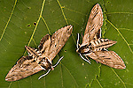 Apple, Sphinx Moth, Sphinx gordius<br />