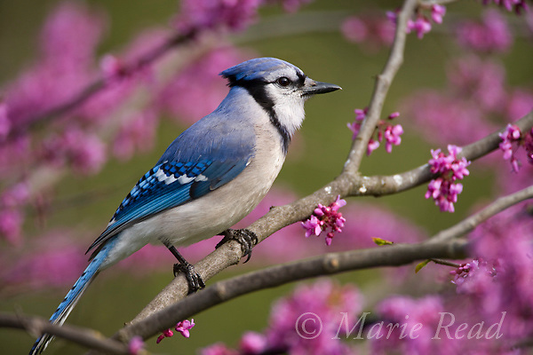 Blue Jay (Cyanocitta cristata) in flowering eastern redbud, New York, USA.