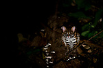 Sunda Leopard Cat (Prionailurus javanensis) at night, Tabin Wildlife Reserve, Sabah, Borneo, Malaysia