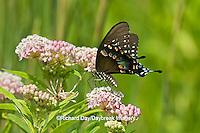 03029-01308 Spicebush Swallowtail butterfly (Papilio troilus) on Swamp Milkweed (Asclepias incarnata) Marion Co., IL