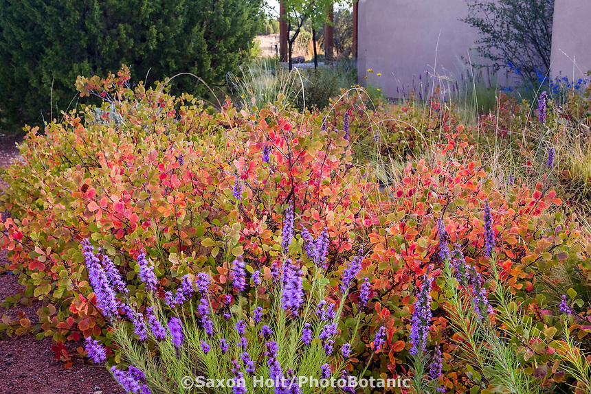 Rhus aromatica 'Gro-lo' Fragrant Sumac red fall color as drought tolerant naturalistic groundcover spreading shrub with blue Liatris in garden border by path