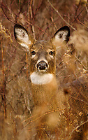 Head shot of a Whitetail Deer, Odocoileus virginianus, at Five Rivers Enviromental Center in Delmar, New York
