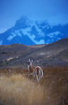 Guanaco standing grazing in tall grass with the snow and glacier covered flanks of Paine Grande in the background.Torres del Paine National Park, Chile.