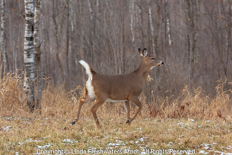 White-tailed doe alarmed by something she sees in the distance.