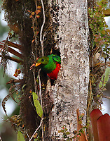 Male golden-headed quetzal emerging from nest hole