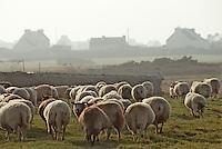 Europe/France/Bretagne/29/Finistère/Ile d'Ouessant: Fête des moutons, rabattage des moutons - Troupeau de moutons