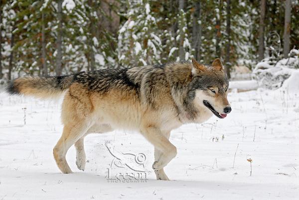 Wild Yellowstone Gray Wolf (Canis lupus).  Yellowstone National Park.