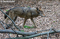 0503-0905  Critically Endangered Red Wolf, Canis rufus (syn. Canis niger)  © David Kuhn/Dwight Kuhn Photography