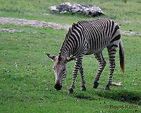 0209-08uu  Hartman's Mountain Zebra, Equus zebra hartmannae © David Kuhn/Dwight Kuhn Photography
