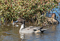 Male and female Northern Pintail, Anas acuta, at Colusa National Wildlife Refuge, California