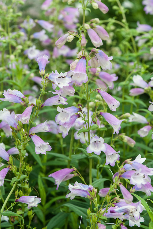 Penstemon 'Pensham Great Expectations' (Pensham Series), early September. Blue-flushed, lilac flowers from summer into autumn. Bred by the late Edward Wilson, of Pershore Plant Raisers near Pershore college in Worcestershire.